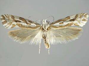 Ypsolopha maculatella