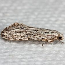 Nemapogon multistriatella